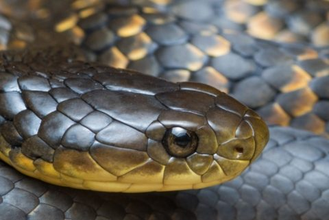 Close up of a tiger snake face