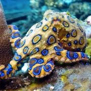 Why its a terrible idea to pick up a blue ringed octopus